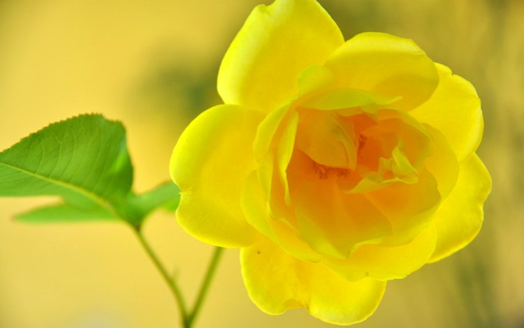макро, цветок, роза, жёлтая, macro, flower, rose, yellow
