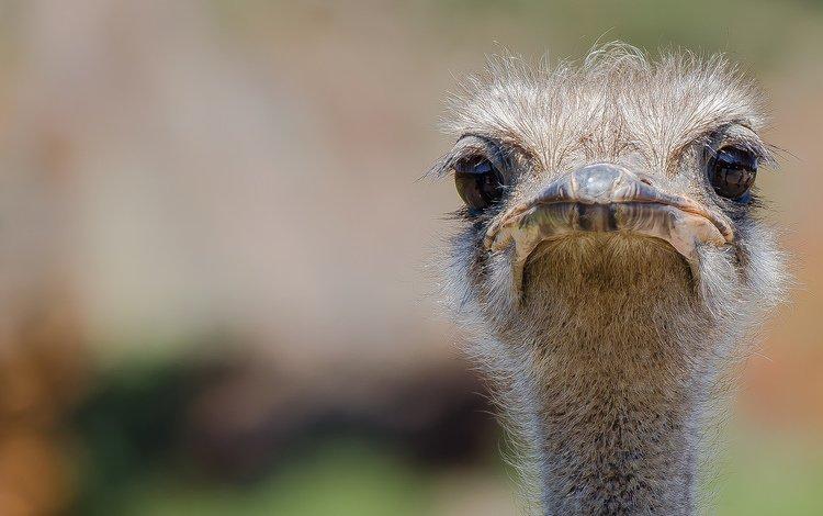 птицы, клюв, страус, birds, beak, ostrich