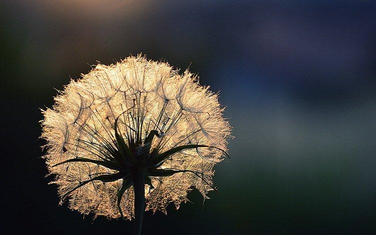свет, цветок, роса, капли, одуванчик, light, flower, rosa, drops, dandelion