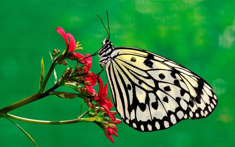 природа, насекомое, цветок, бабочка, насекомые, растение, nature, insect, flower, butterfly, insects, plant
