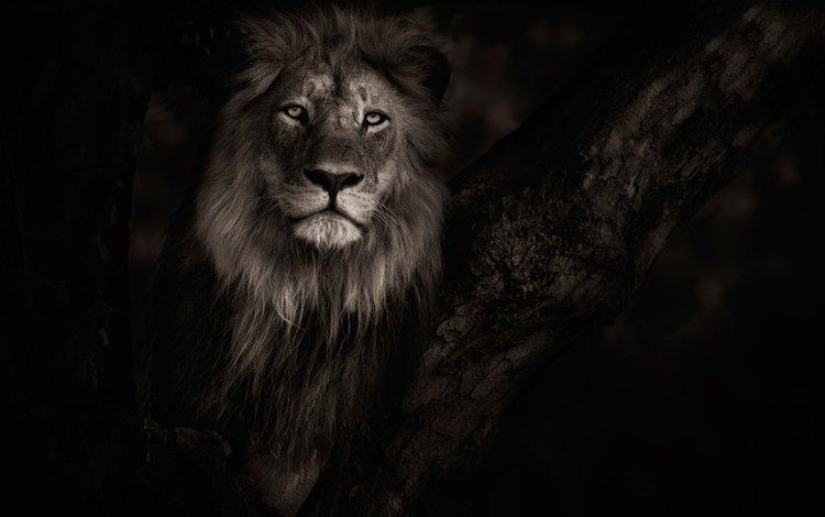 фон, хищник, лев, background, predator, leo