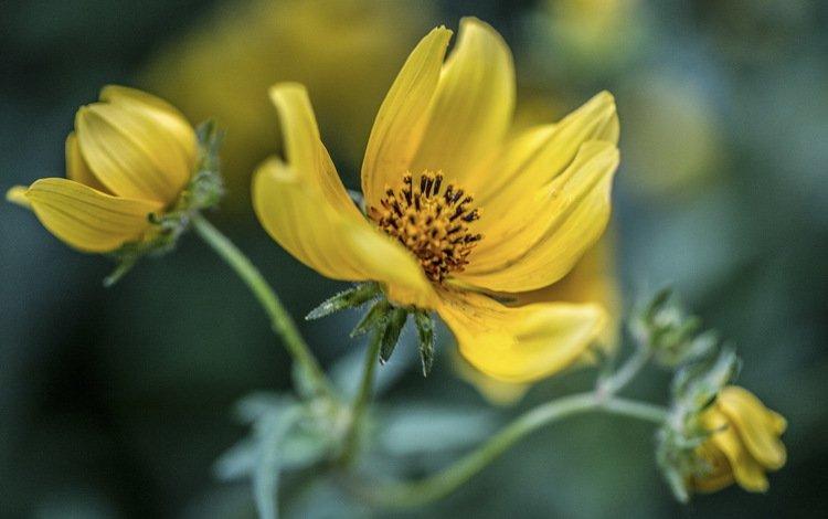 цветы, фон, желтые, космея, flowers, background, yellow, kosmeya