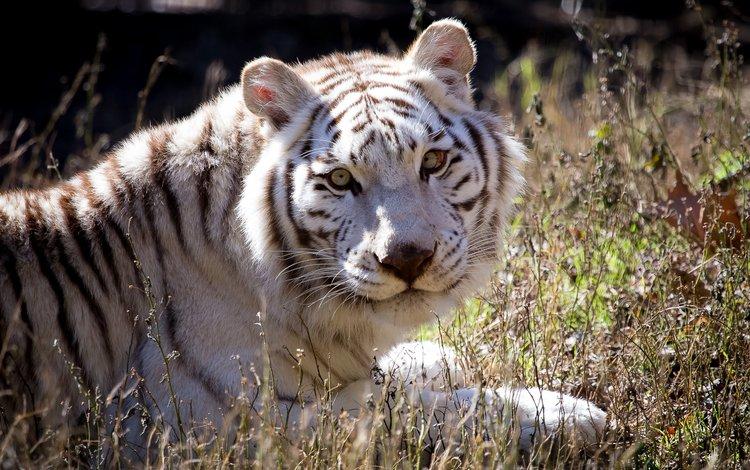 тигр, взгляд, белый, хищник, tiger, look, white, predator