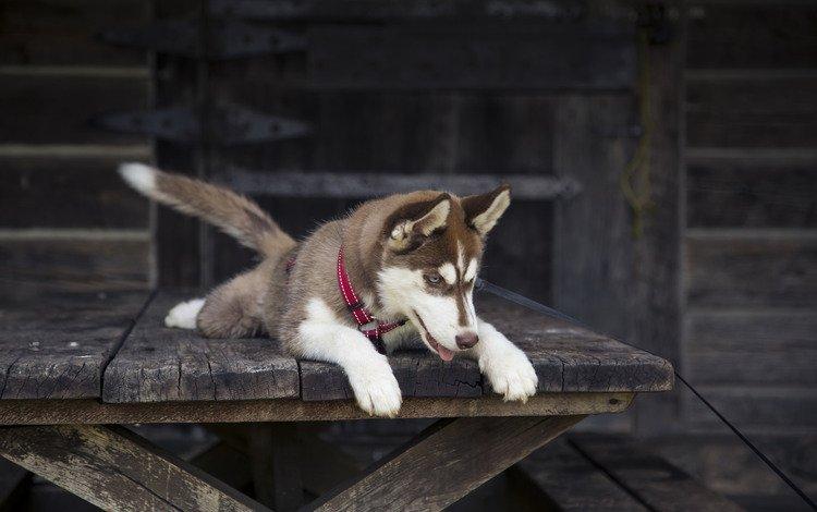 muzzle, look, dog, puppy, husky, collar, alaskan malamute