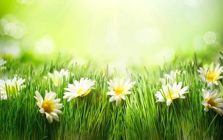 трава, луг, ромашки, grass, meadow, chamomile