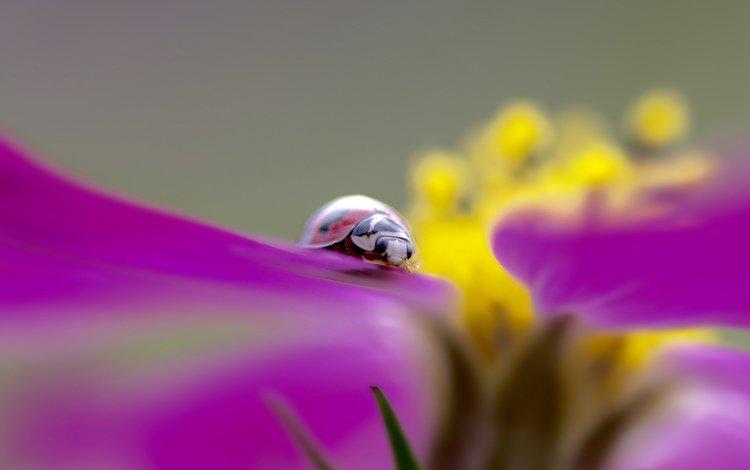 насекомое, цветок, божья коровка, insect, flower, ladybug