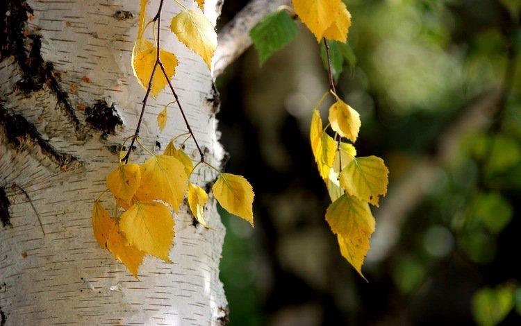 листья, осень, береза, leaves, autumn, birch