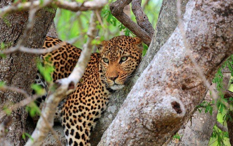 дерево, взгляд, леопард, хищник, tree, look, leopard, predator