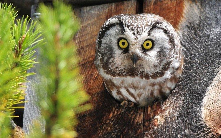 сова, мохноногий сыч, дупло, owl, tengmalm's owl, the hollow