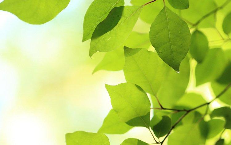 ветка, природа, листья, макро, зеленые, branch, nature, leaves, macro, green