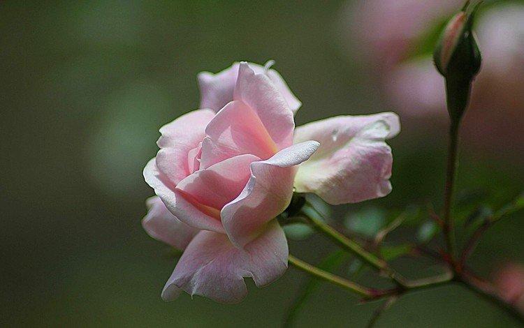 бутоны, цветок, роза, розовая, buds, flower, rose, pink
