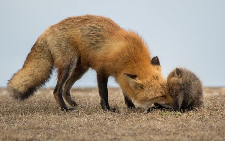 природа, поле, лиса, лисенок, nature, field, fox