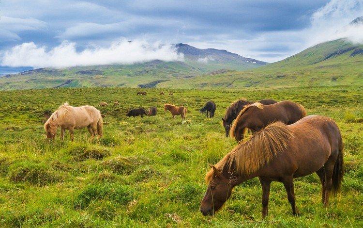 горы, луг, лошади, кони, исландия, исландские лошади, mountains, meadow, horse, horses, iceland, icelandic horses
