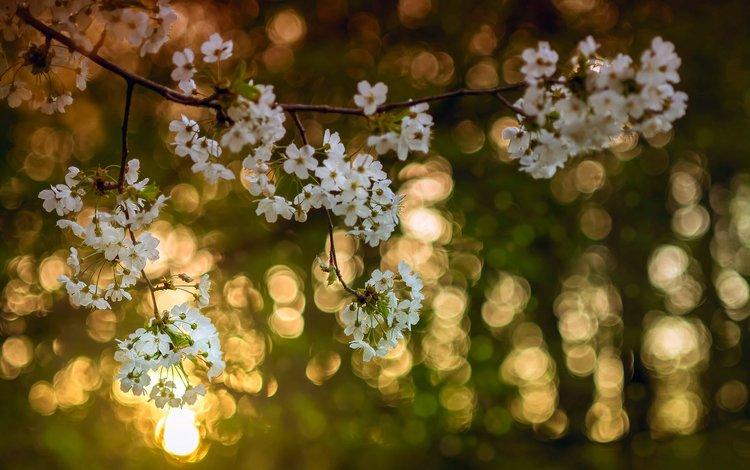 свет, цветы, дерево, цветение, ветки, цвет, весна, вишня, light, flowers, tree, flowering, branches, color, spring, cherry