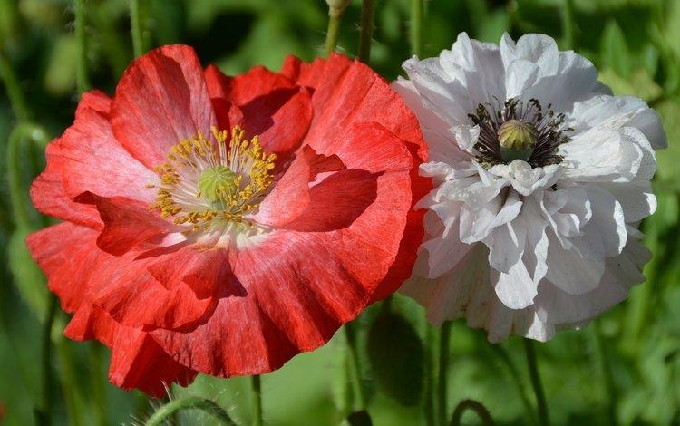 цветы, природа, макро, красный, белый, маки, flowers, nature, macro, red, white, maki