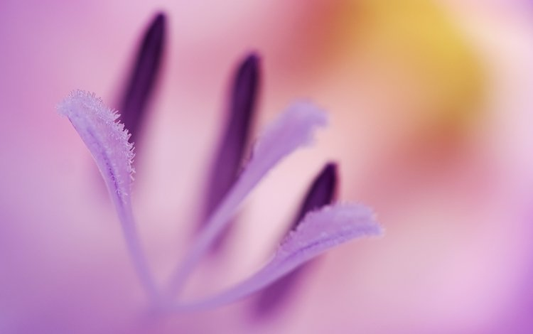 макро, цветок, роса, капли, сиреневый, macro, flower, rosa, drops, lilac