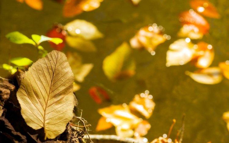 leaves, macro, autumn, yellow