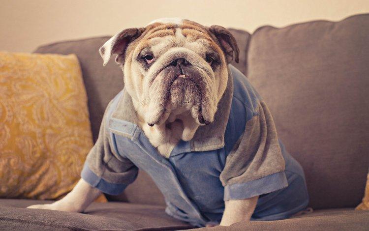 взгляд, собака, друг, английский бульдог, look, dog, each, english bulldog