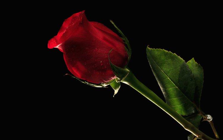 цветок, роза, лепестки, красная, лист, бутон, стебель, черное фон, flower, rose, petals, red, sheet, bud, stem, black background