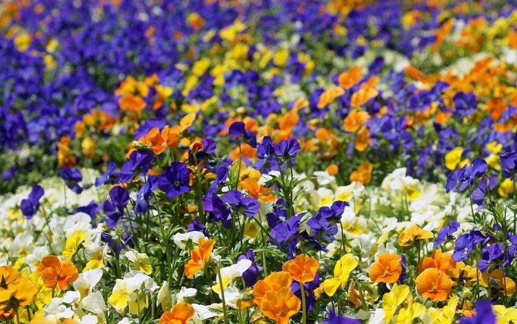 цветы, разноцветные, яркие, анютины глазки, клумба, flowers, colorful, bright, pansy, flowerbed