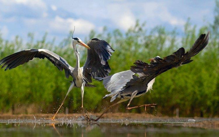 птицы, танцы, цапли, birds, dancing, herons