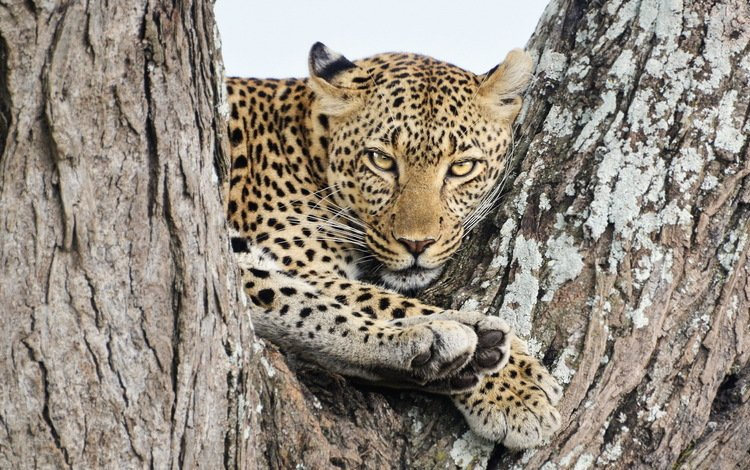кошка, леопард, хищник, зверь, cat, leopard, predator, beast