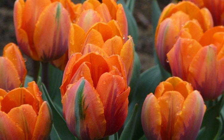 роса, капли, лепестки, сад, тюльпаны, клумба, rosa, drops, petals, garden, tulips, flowerbed