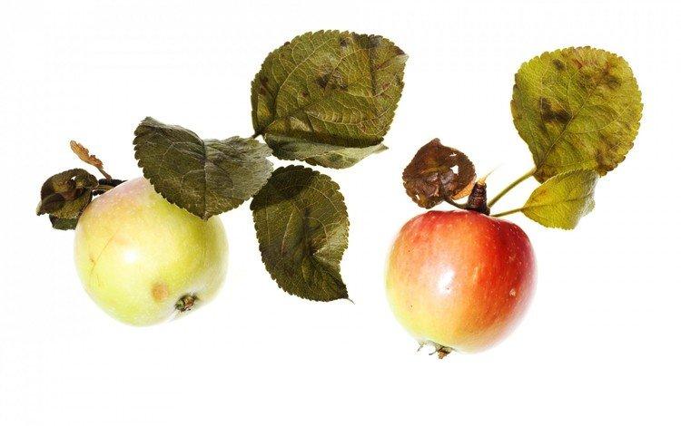 фрукты, яблоки, белый фон, листики, спелые, fruit, apples, white background, leaves, ripe