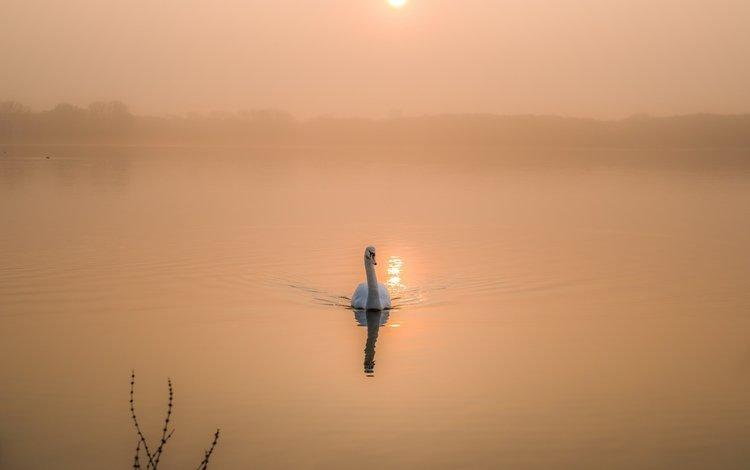 озеро, утро, рассвет, птица, лебедь, lake, morning, dawn, bird, swan