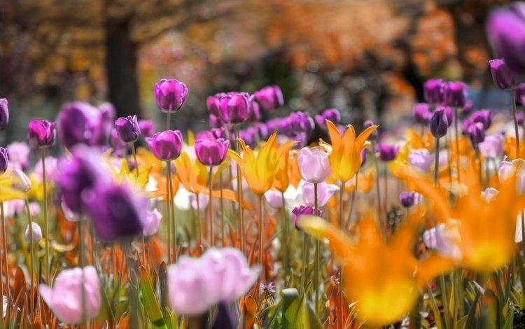 цветы, природа, тюльпаны, flowers, nature, tulips