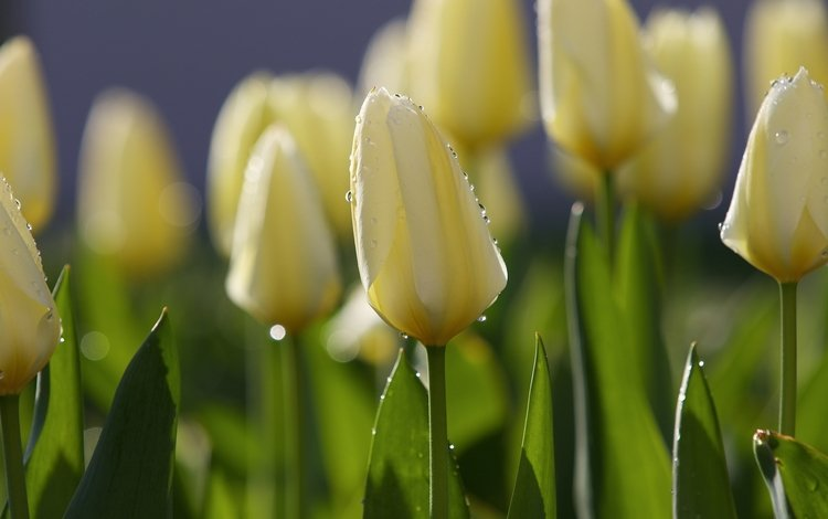 flowers, morning, rosa, drops, spring, tulips, tulip