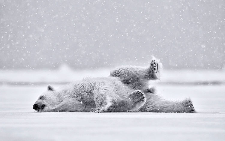 полярный медведь, медведь, белый медведь, polar bear, bear