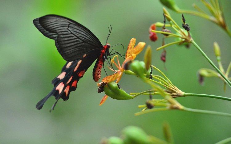 цветы, насекомое, бабочка, крылья, растение, flowers, insect, butterfly, wings, plant