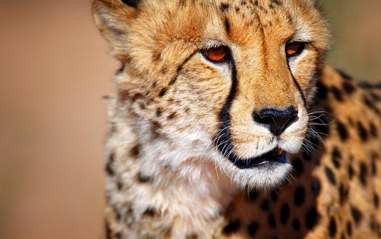 морда, взгляд, большая кошка, животное, гепард, face, look, big cat, animal, cheetah