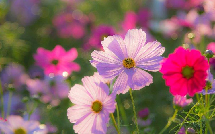цветы, лепестки, космея, flowers, petals, kosmeya
