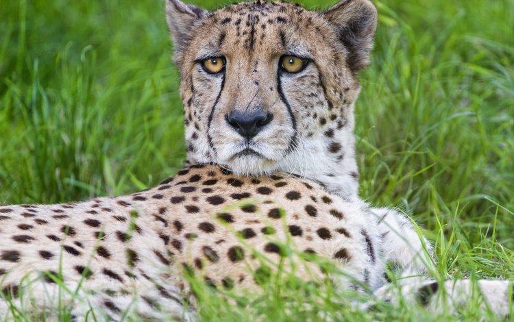 трава, взгляд, хищник, большая кошка, гепард, © tambako jaguar, grass, look, predator, big cat, cheetah, © tambako the jaguar