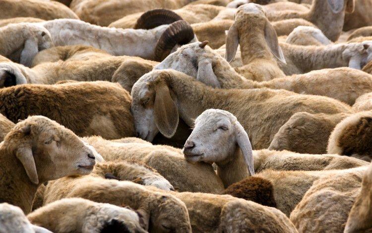 природа, овцы, стадо, овца, nature, sheep, the herd