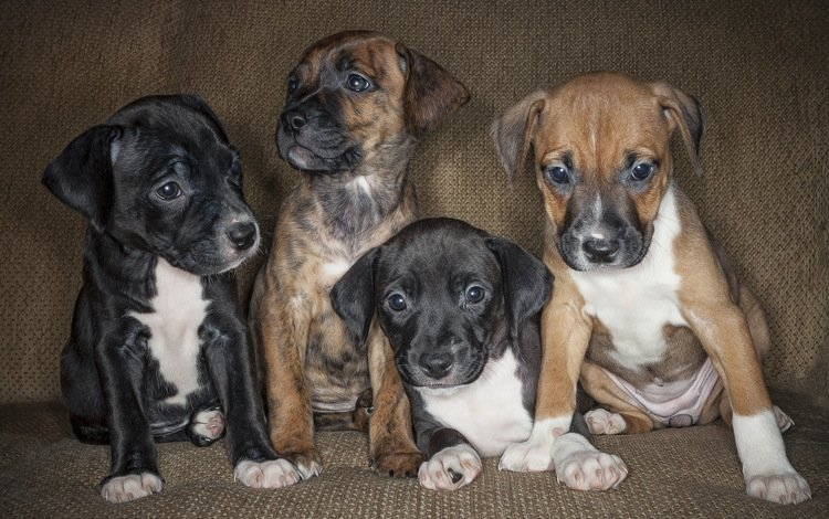 взгляд, щенки, собаки, мордочки, амстафф, стаффордширский терьер, look, puppies, dogs, faces, amstaff, staffordshire terrier