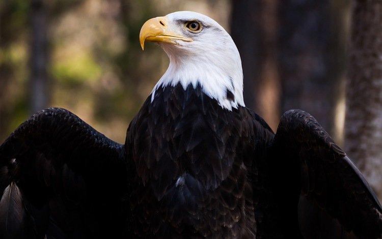 крылья, орел, птица, клюв, перья, белоголовый орлан, wings, eagle, bird, beak, feathers, bald eagle
