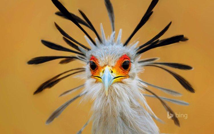 глаза, птица, клюв, перья, птица-секретарь, eyes, bird, beak, feathers, secretary bird