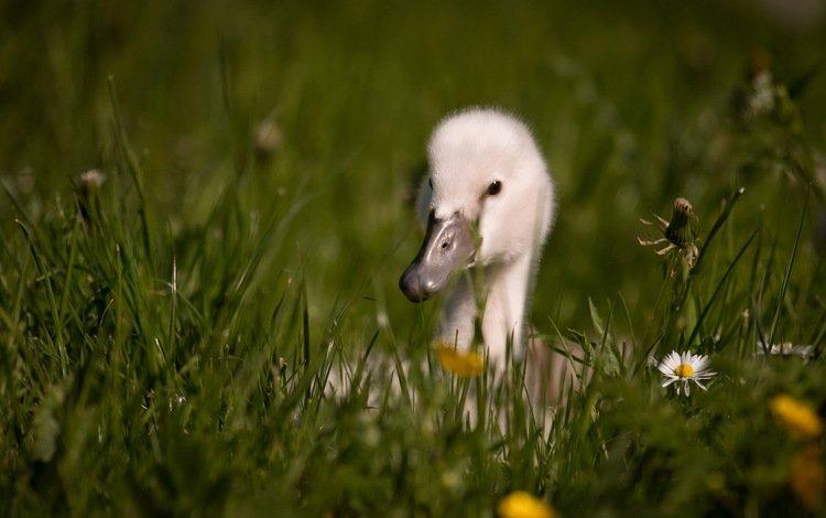 цветы, трава, птица, клюв, перья, лебедь, детеныш, flowers, grass, bird, beak, feathers, swan, cub