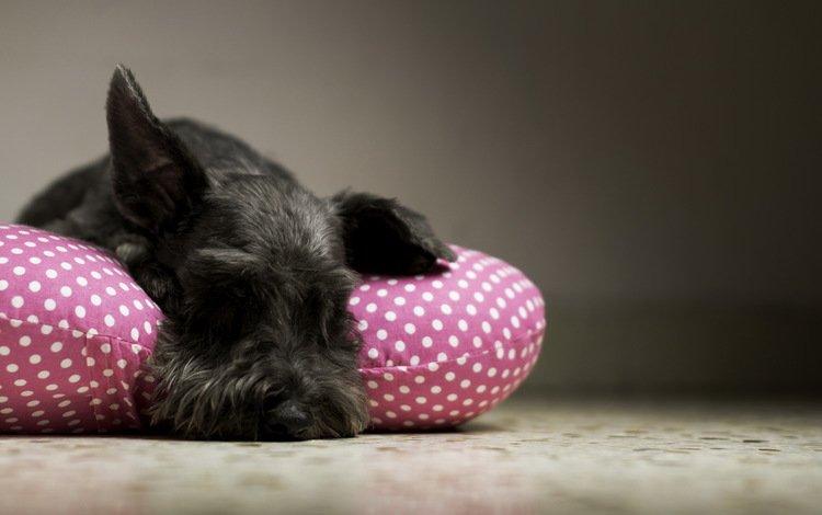 собака, дом, уют, подушка, ризеншнауцер, dog, house, comfort, pillow, the giant schnauzer