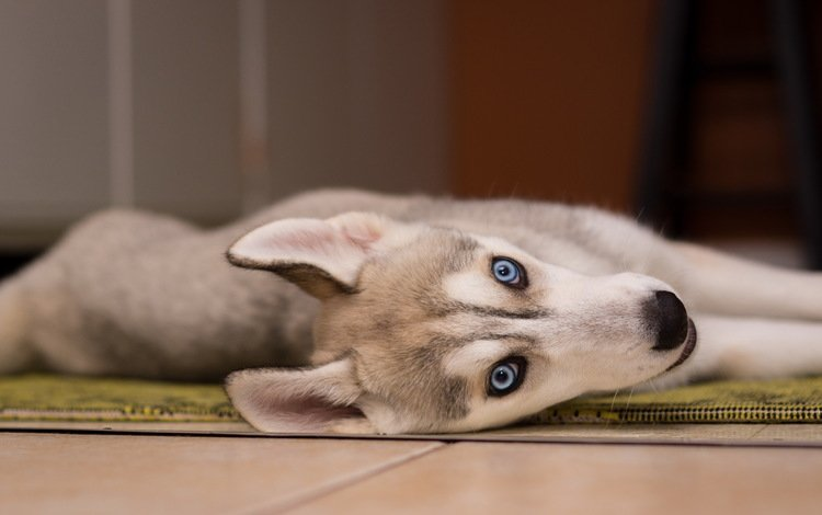 мордочка, взгляд, собака, щенок, хаски, muzzle, look, dog, puppy, husky