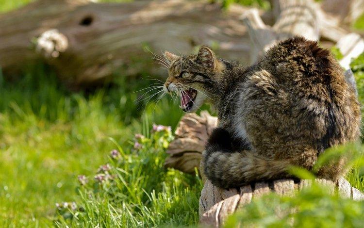 cat, log, wild, forest cat, aggressive