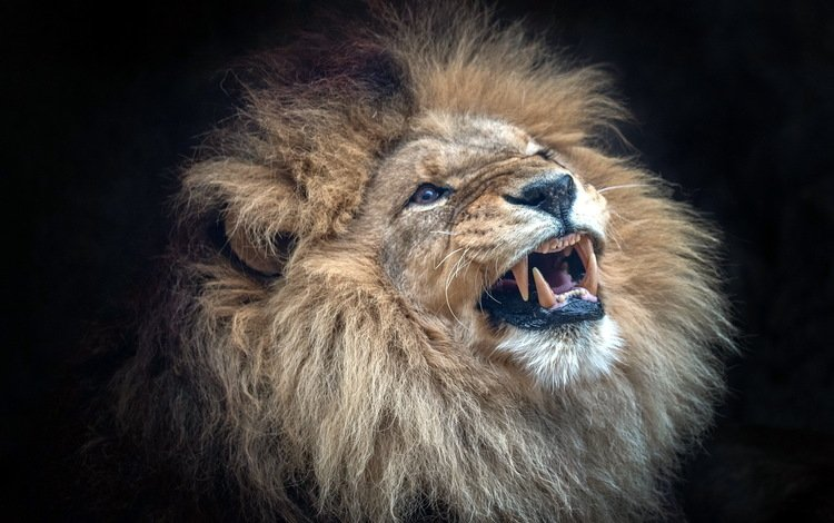 улыбка, хищник, лев, зверь, smile, predator, leo, beast