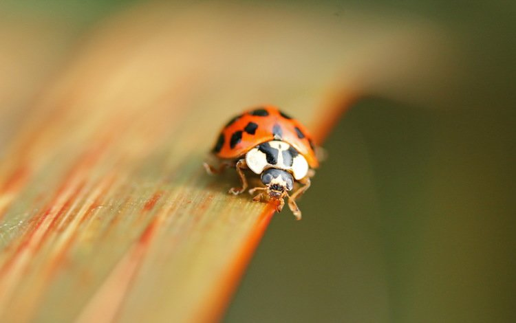 природа, макро, божья коровка, nature, macro, ladybug