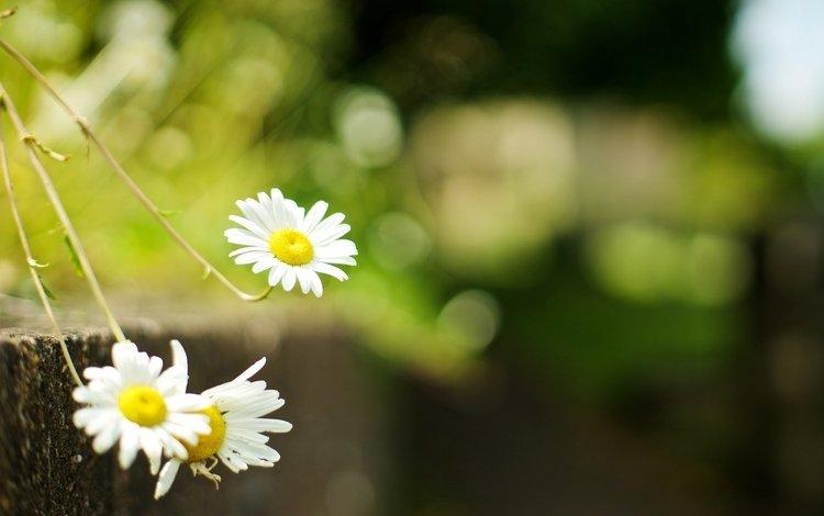 цветы, ромашки, flowers, chamomile