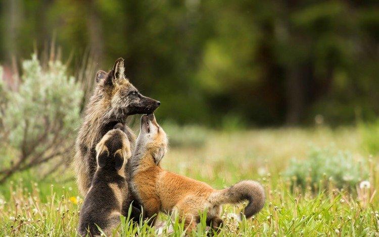 природа, фон, лисы, nature, background, fox