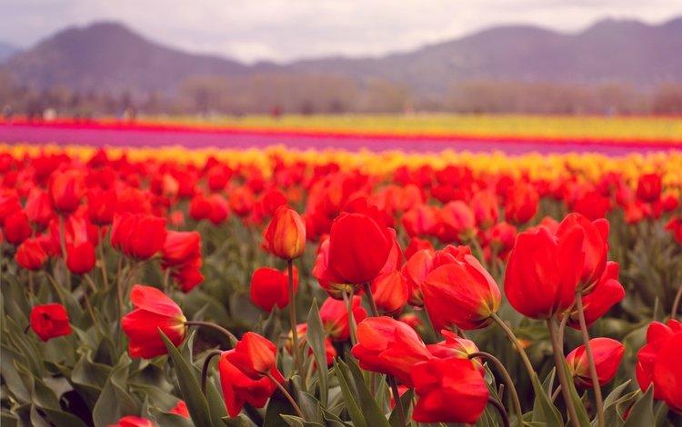 цветы, лепестки, красные, тюльпаны, flowers, petals, red, tulips