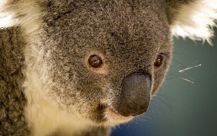 животные, австралия, коала, травоядное, сумчатое, сумчатые, animals, australia, koala, herbivores, marsupials